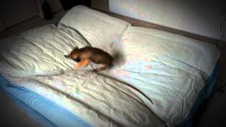 Border Terrier Puppy Bouncing On Blow Up Bed