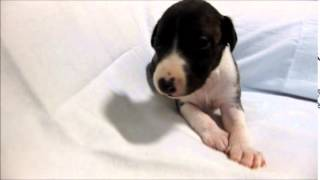 ウィペット専門店 http://aidol-doggy.com/uxipeltuto/ ブリーダーの子...