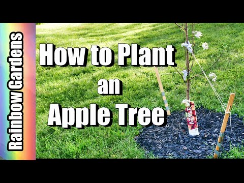 How to Plant an Apple Tree – Plant Two, NOT One, and Stake Them
