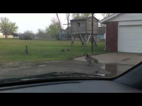 Claremore Geese