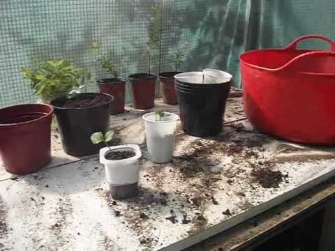 Transplanting my Lemon and Orange seedlings
