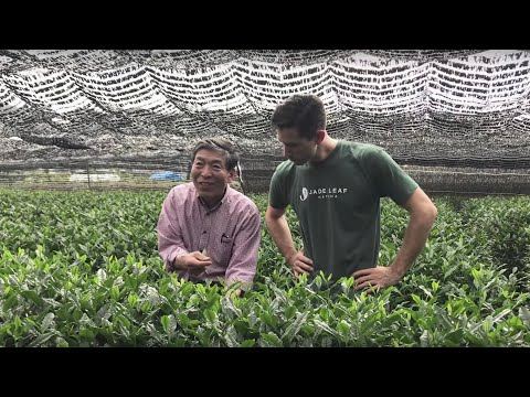Jade Leaf Meet Our Matcha Farmers
