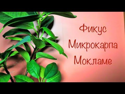 Фикус Микрокарпа Мокламе — растение эпифит.