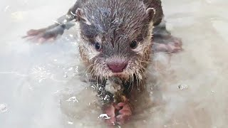 The baby otter challenges fish hunting for the first time.