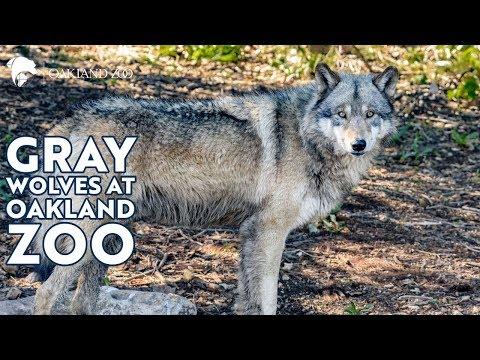 Wolves at Oakland Zoo