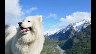 Порода собак Самоед - Описание