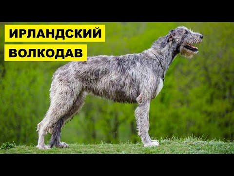 Собака Ирландский Волкодав плюсы и минусы породы | Собаководство | Порода Ирландский волкодав