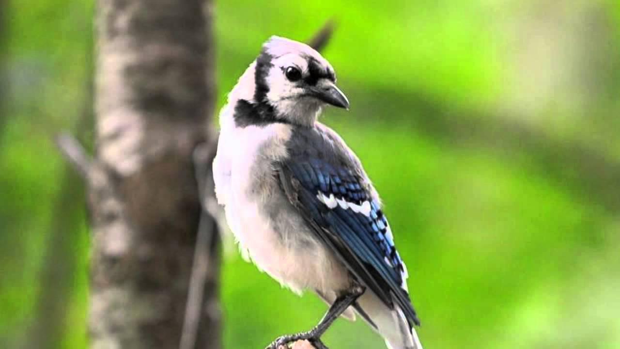 Jay ~ Bird Song ~ Bird Call - YouTube