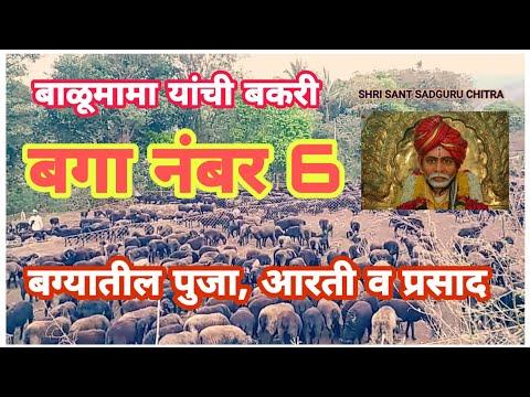 Shri Balumama Bakari Bagaa No 6 | श्री बाळूमामांची बकरी बगा नंबर 6 | बाळूमामा पूजा आरती, प्रसाद