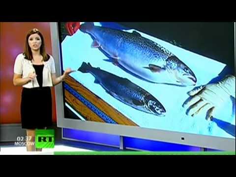 GMO Salmon What Next?   Genetically Modified Food
