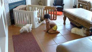 West Highland Terrier Pups Play With Child Boy By Cammie In Az  Www.thatsmypuppyinthewindow.com