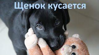 """""""Нельзя"""", как отучить собаку кусаться / How To Stop Puppy Biting"""