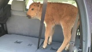 CNN's Amara Walker asks a Yellowstone National Park public affairs specialist why a bison calf had to be put down after human interaction.