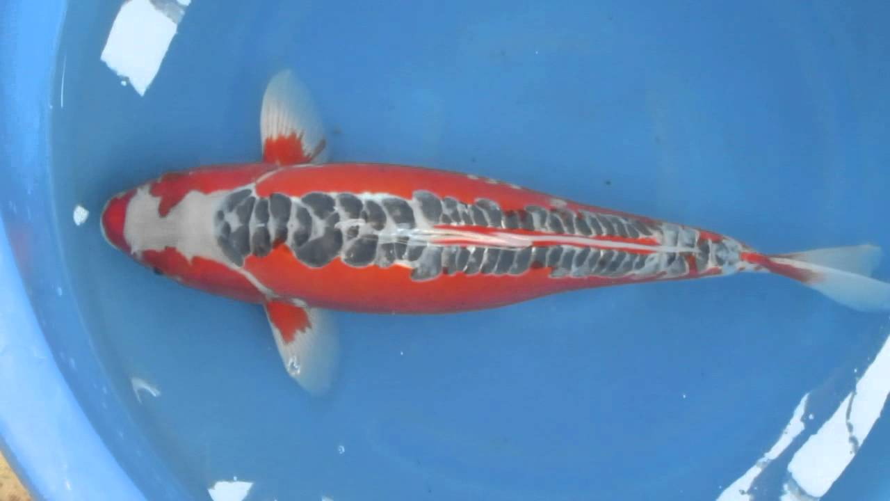 22 hi shusui japanese koi fish youtube for Japanese koi breeders