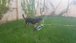Funny puppy dog Oscar plays with the sprinkler