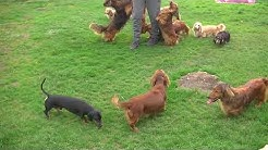 Amazing Dachshunds Kennel Bronia in UK 2