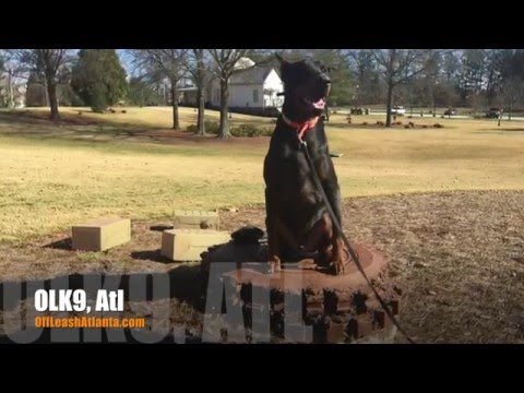 "2 Year Old Doberman Pinscher ""Gabriel"" Before/After Video 
