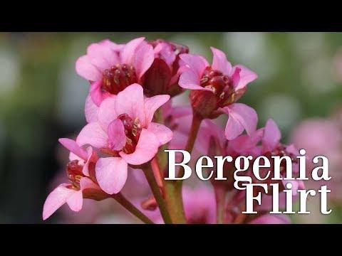 The Small & Hot Pink Bergenia Flirt