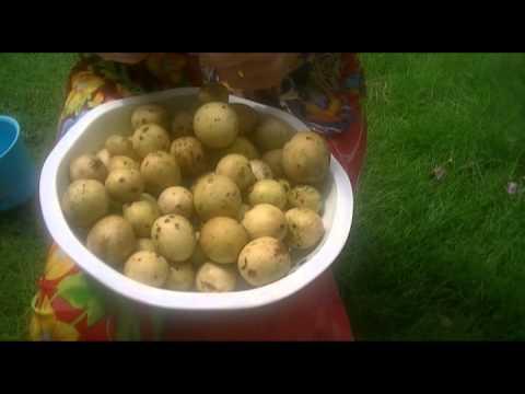Тропические фрукты Индонезии - Дуку (duku)
