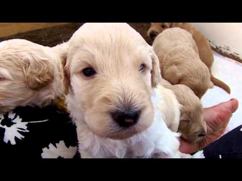 Goldendoodle Puppies. . .3 weeks old!!!