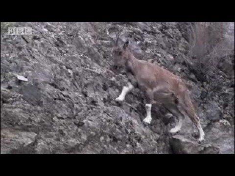 Tagging a predator on the hunt - Snow Leopard: Beyond the Myth - BBC animals