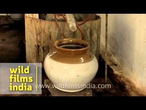 Dare to drink cow pee? Medicinal distilled cow urine for health benefits