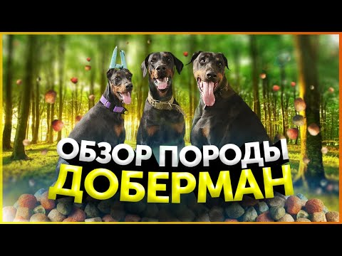 Доберман   Обзор породы   Послушание   Кому подойдет порода Доберман   Школа для собак DRED
