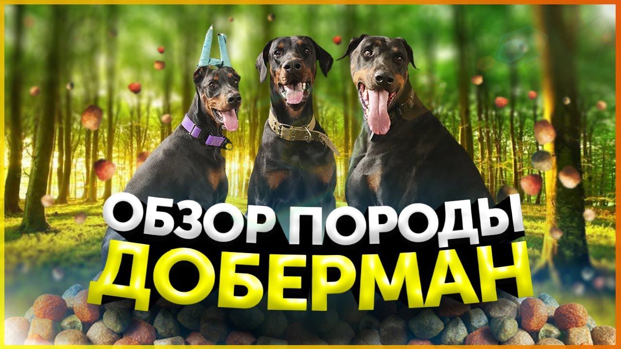 Доберман | Обзор породы | Послушание | Кому подойдет порода Доберман | Школа для собак DRED