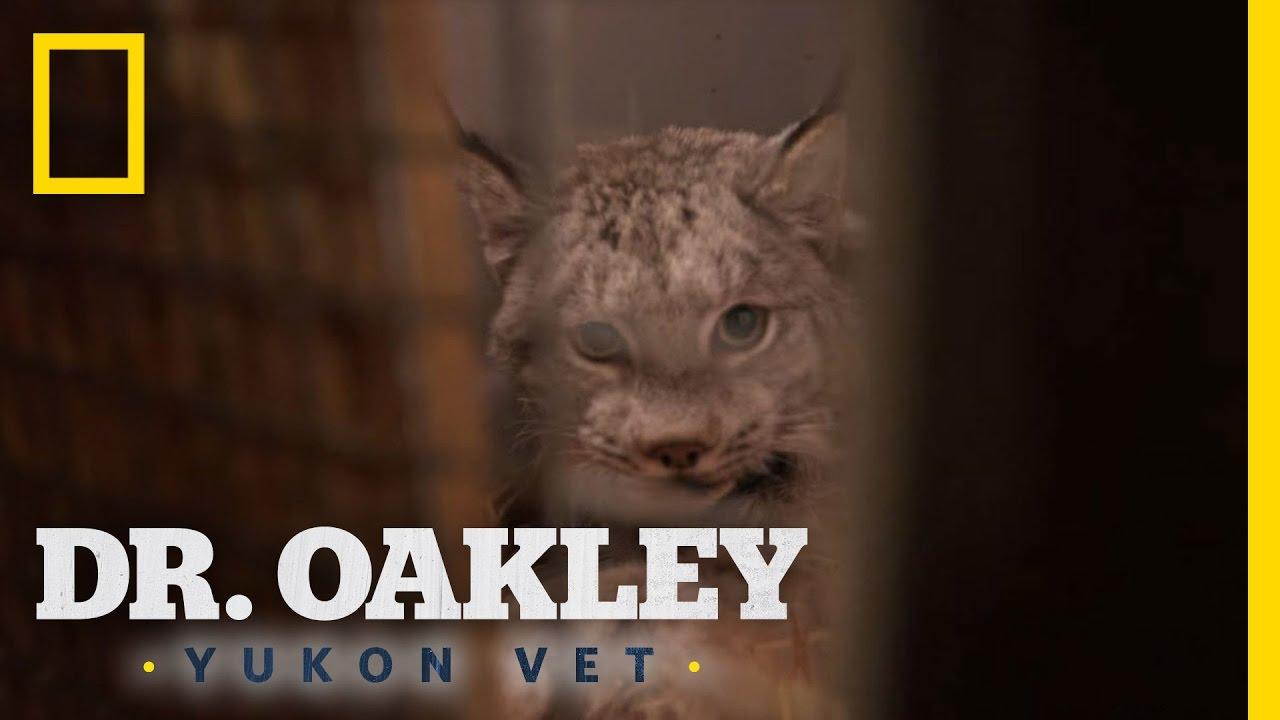 Lynx Vs House Cat Differences Yukon Do It
