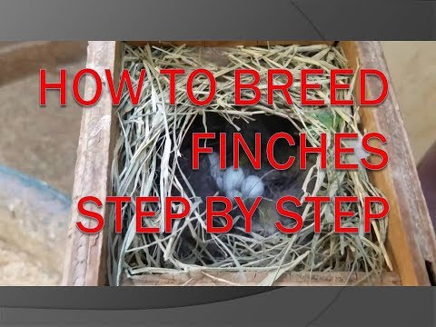HOW TO BREED FINCHES STEP BY STEP