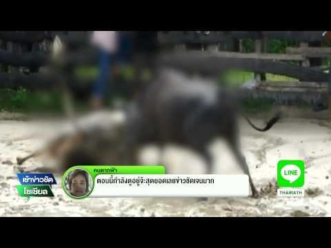 ตรัง โคดุชนกันตายคาสนาม | 19-08-58 | เช้าข่าวชัดโซเชียล | ThairathTV