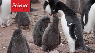 Speedy drones count Antarctic penguin colonies in record time