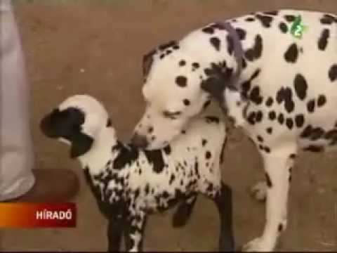 Kutya lett a bárány anyja?