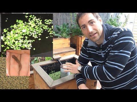 Duckweed! Grow Free Fish Food For Aquaponics