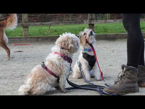 honey-the-cavachon-and-roxy-the-yorkie-x-jrt---4-weeks-residential-training