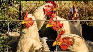 أخبار الصحة | تفشي لإنفلونزا الطيور في بريطانيا وسلالة جديدة في فرنسا