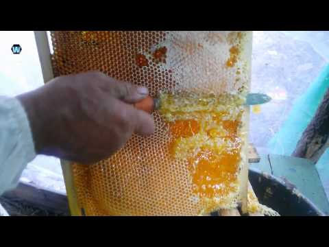 Как добывают мед из сот