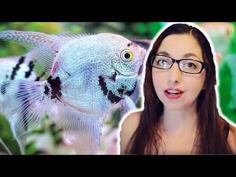 ANGELFISH CARE GUIDE 🐟 Freshwater Angelfish Basics