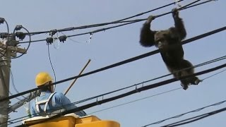 Chimpanzee makes daring escape before being tranquilized