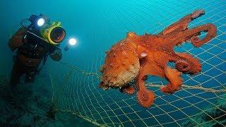 Огромный осьминог напал на дайвера  Самый большой осьминог в мире напал на дайвера ⁄ Amazing Animals