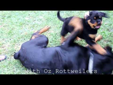 Big Rottweiler wrestles gently with Rottweiler puppy