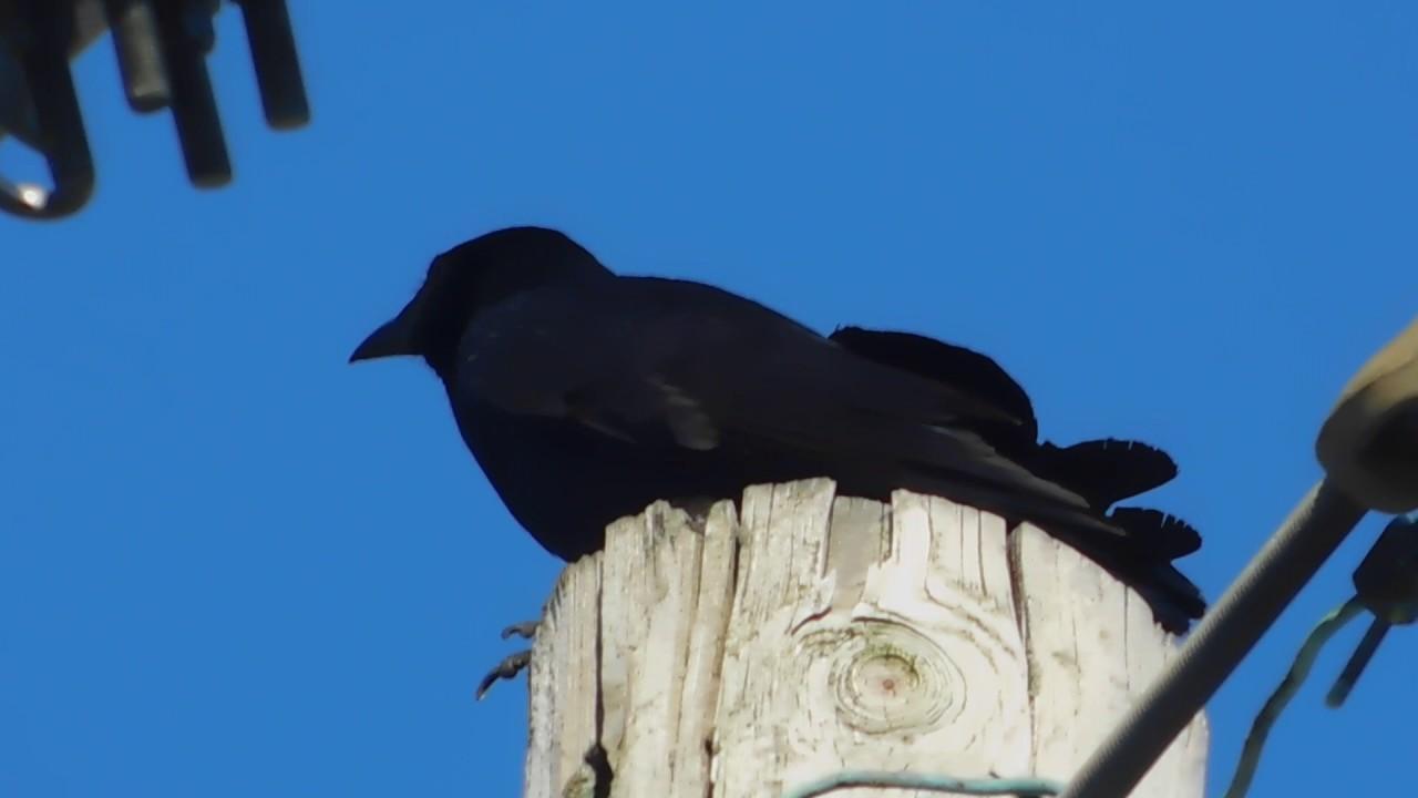 Fish crow call youtube for Fish crow call