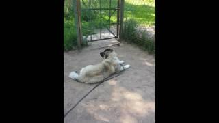 Дрессировка щенкрв-кавказская овчарка Нюша 5мес-лежать