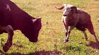 Bull is afraid of a ram   Funniest Animal Moments