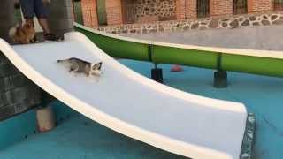 Husky And Pomeranian Go Down A Slide