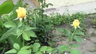 Уход за розой - Удобрение розы и подкормка(УДОБРЕНИЕ РОЗ, удобрения для роз как и для других цветов - очень важный элемент в выращивании и уходе за..., 2014-06-27T19:16:04.000Z)