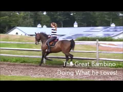 The Great Bambino - Morgan Horse