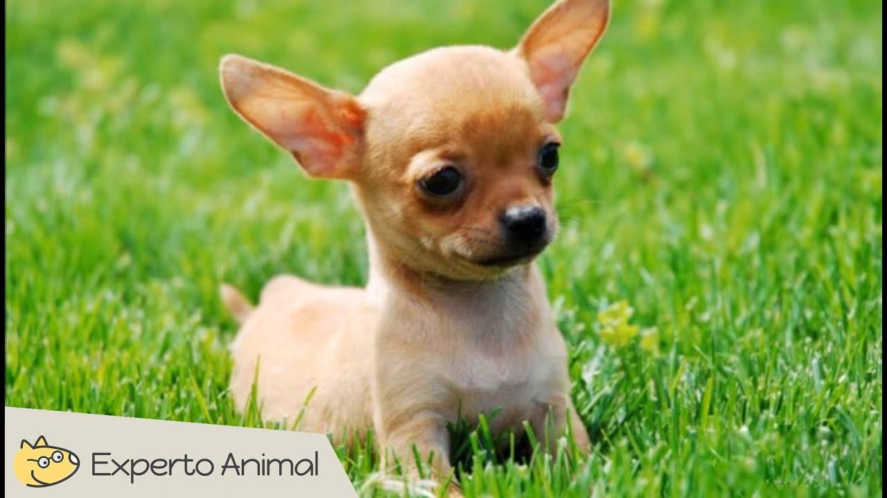 R Chihuahuas Smart El perro Chihuahua | F...