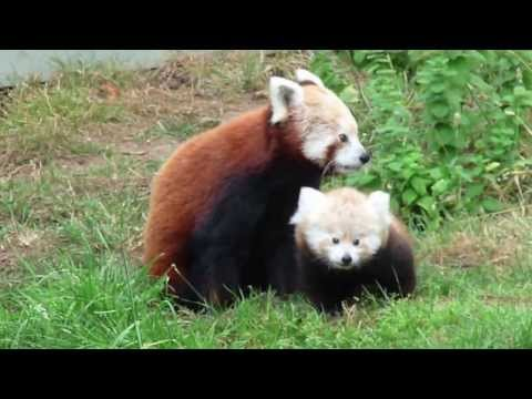 Cutest Baby Red Panda Ever
