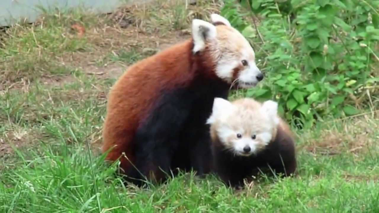 Cutest Baby Red Panda Ever Youtube
